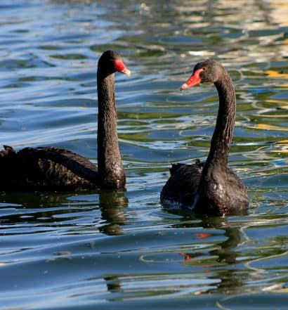 schwan risiko thomas Wuttke